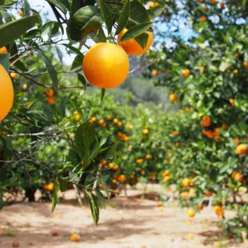 32 - Fotolia_81731397_orange grove - 39.01 x 21.95 @ 300 dpi